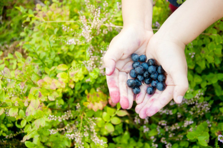 blåbær i to hender