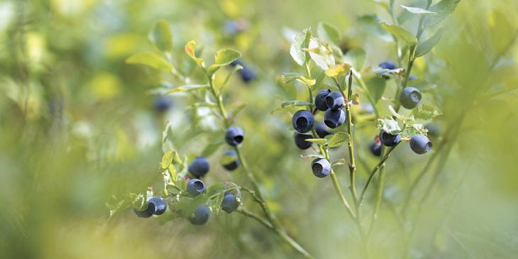 Viltvoksende blåbær